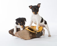 Rat Terrier Puppies. With cowboy boots stock photography