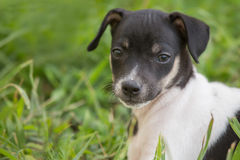 Rat Terrier puppy Stock Photography
