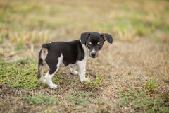 Rat Terrier puppy. Horizontal image of Rat Terrier puppy in the yard Royalty Free Stock Image