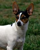 Rat Terrier Royalty Free Stock Photography