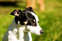 Rat terrier sitting outside in the sun royalty free stock photo