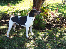 Rat terrier standing Royalty Free Stock Images
