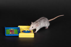 Rat with a toy roulette Stock Photo