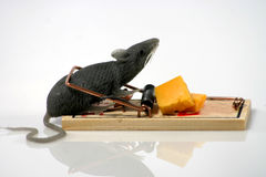 Rat in trap Royalty Free Stock Images