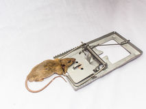 Rat and  trap. A rat and a trap on white background tock photo Stock Photos