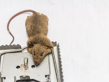 Rat and  trap. A rat and a trap on white background tock photo Stock Photo