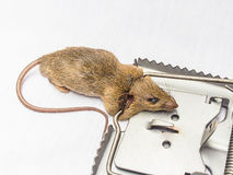 Rat and trap. A rat and a trap on white background tock photo Stock Image