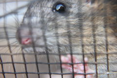 Rat. A rat trapped in a cage, put your hand in the cage because he wants to leave, looks sad Stock Photography