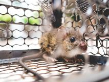 Rat trapped in a cage. Royalty Free Stock Image