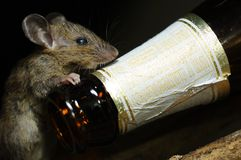 RAT and Beer alcoholic beverages bottle , Health effect , black background isolated Stock Photos