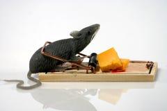 Rat in val Royalty-vrije Stock Afbeeldingen