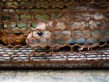 The rat was in a cage catching a rat the rat has contagion the d Royalty Free Stock Images