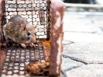 The rat was in a cage catching a rat the rat has contagion the d Stock Photography