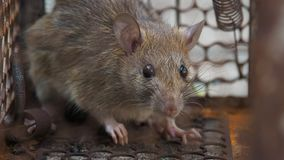 The rat was in a cage catching a rat the rat has contagion the disease to humans such as Leptospirosis, Plague. Homes and dwelling stock footage