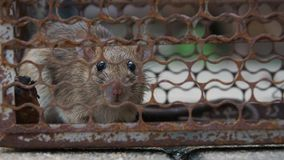 The rat was in a cage catching a rat the rat has contagion the disease to humans such as Leptospirosis, Plague. Homes and dwelling stock video footage