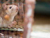 The rat was in a cage catching. The rat has contagion the disease to humans such as Leptospirosis, Plague. Homes and dwellings sho. Uld not have mice. Pet Stock Photography