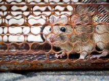 The rat was in a cage catching. The rat has contagion the disease to humans such as Leptospirosis, Plague. Homes and dwellings sho. Uld not have mice. Pet Stock Image