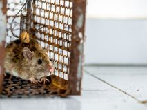 The rat was in a cage catching. The rat has contagion the disease to humans such as Leptospirosis, Plague. Homes and dwellings sho Royalty Free Stock Images