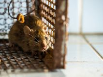 The rat was in a cage catching a rat. the rat has contagion the disease to humans such as Leptospirosis, Plague. Homes and dwellings should not have mice. The Royalty Free Stock Photography