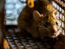 The rat was in a cage catching a rat. the rat has contagion the disease to humans such as Leptospirosis, Plague. Homes and dwellings should not have mice. The Royalty Free Stock Images