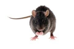 Rat washes royalty free stock image
