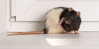 Rat washes Royalty Free Stock Images