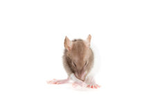Rat washes Stock Images