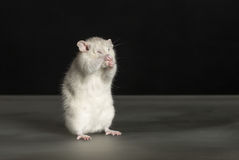 Rat washes Stock Photography