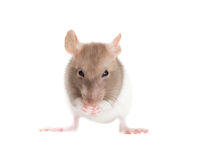 Rat washes Royalty Free Stock Photography