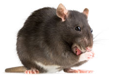 Free Rat Washing Royalty Free Stock Photo - 4864485