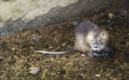Rat in the water Royalty Free Stock Photos