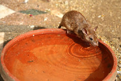 Rat in a water dish. A rat outside in a water dish stock photo