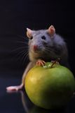 Rat whis aple. Grey rat whis green apple Royalty Free Stock Photography