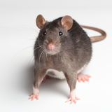 Rat on white Royalty Free Stock Images