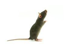 Rat on white Royalty Free Stock Photo