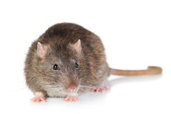 Rat on white background Royalty Free Stock Image