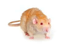 Rat on a white background. Pet a rat on a white background Stock Image