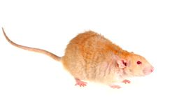 Rat on a white background. Pet a rat on a white background Stock Photography