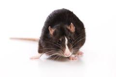 Rat on white background. Black rat on white background stock photos