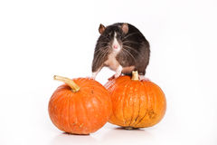 Rat on white background. With pumpkins Stock Photography