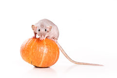 Rat on white background. With pumpkin Stock Image