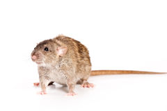 Rat on white background. Grey rat on white background Royalty Free Stock Photos