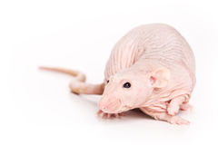 Rat on white background. Bald rat on white background Royalty Free Stock Photo