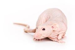 Rat on white background. Bald rat on white background royalty free stock photo