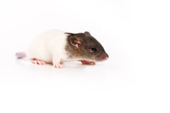 Rat on white background. White-grey rat on white background Royalty Free Stock Photos