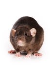 Rat on white background. Black rat on white background Royalty Free Stock Photos