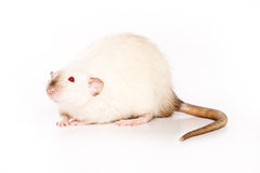 Rat on white background. White rat on white background stock photo
