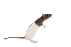 Rat on a white background Royalty Free Stock Image