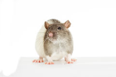 Rat on a white background Royalty Free Stock Images