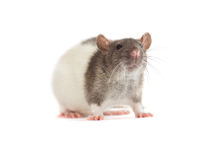 Rat on a white background Royalty Free Stock Photo